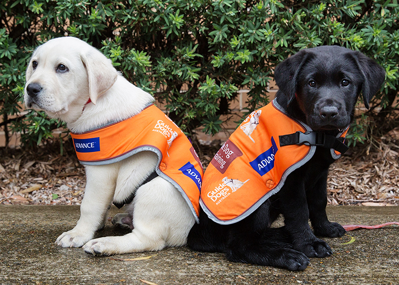 New training coats for pups in training