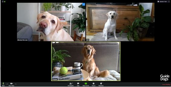 Image shows three labradors taking part in a Zoom video conference call