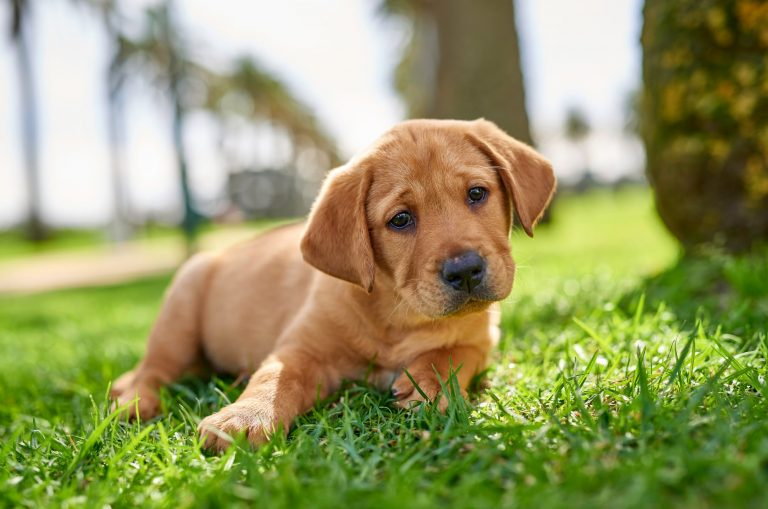 A ten week old caramel labrador puppy. The puppy is sitting flat on some grass.