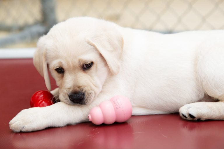 A yellow eight week old labrador puppy sitting with two dog toys next to it.
