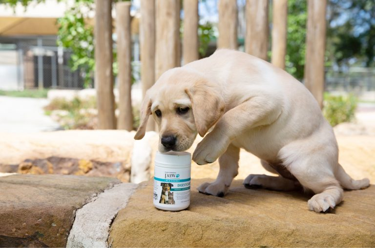 A yellow ten week old labrador puppy s outside and seated next to a bottle of dog health products. The dog has lifted its front paw off the ground.