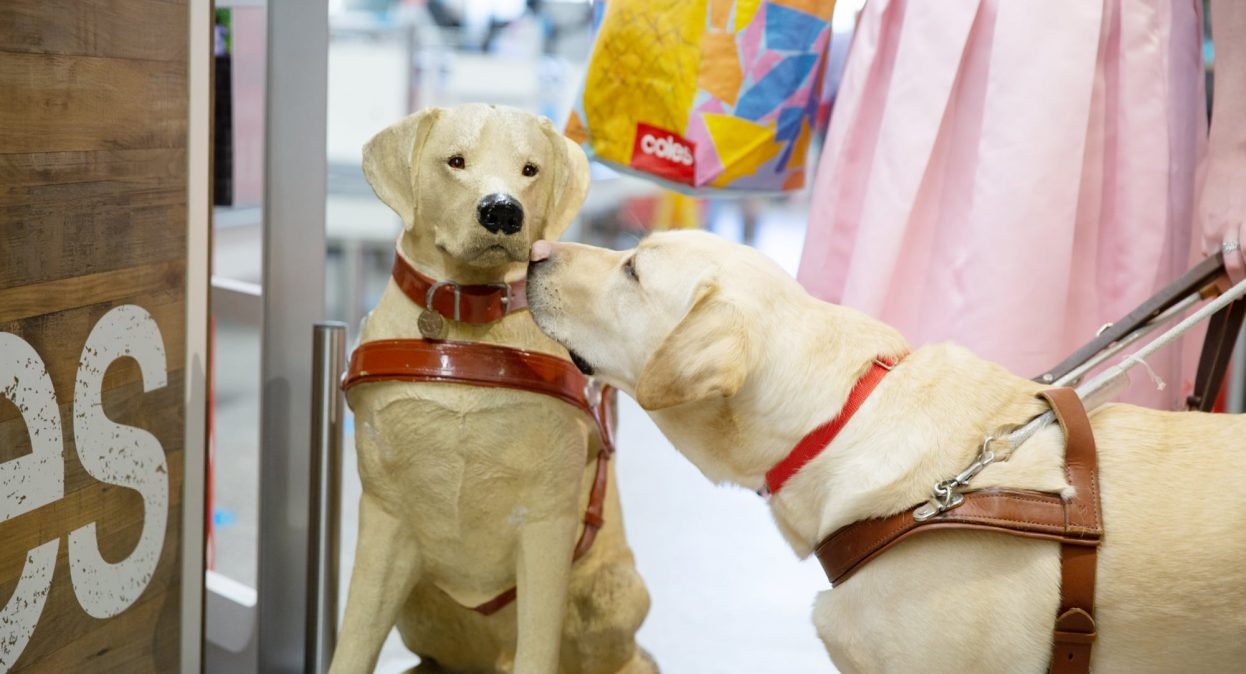 A yellow labrador Guide Dog in harness sniffing a large Guide Dogs collection dog.