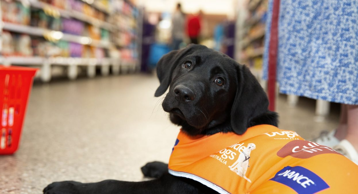 A black 16 week old labrador puppy sitting on the ground of a shop wearing its Guide Dog in Training jacket. The puppy is looking at the camera.