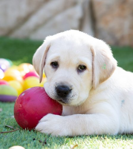 A yellow eight week old labrador puppy sitting outside on some grass with a dog toy in its mouth.