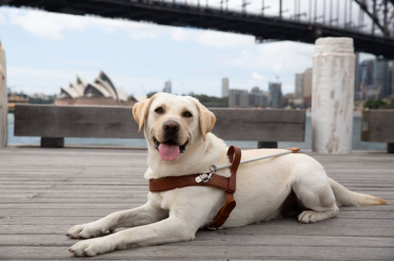 A yellow labrador Guide Dog in harness sitting flat on the ground looking at the camera. The Sydney Harbour bridge is in the background.