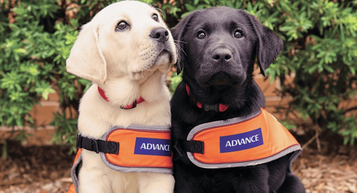 Two eight week old labrador puppies, one yellow and one black, seated outside looking at the camera. They are both wearing orange dog coats,