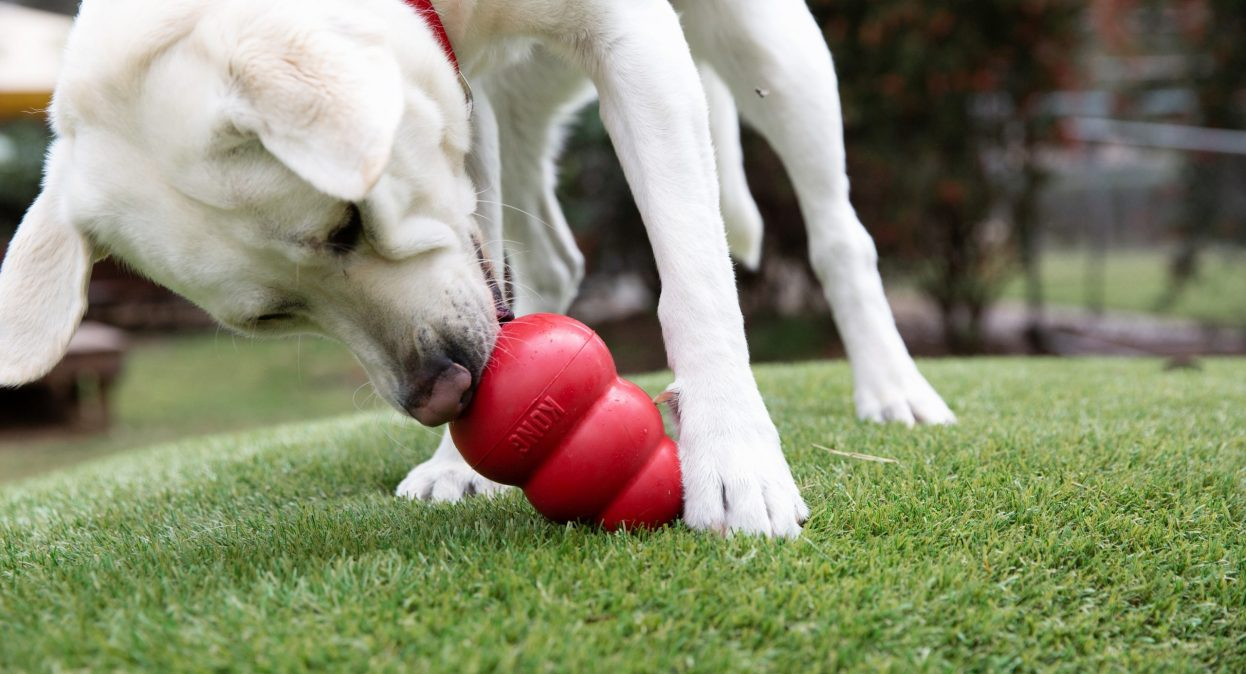 A yellow labrador licks a red KONG toy