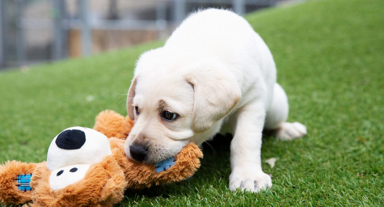 A yellow labrador puppy chews a KONG teddy bear