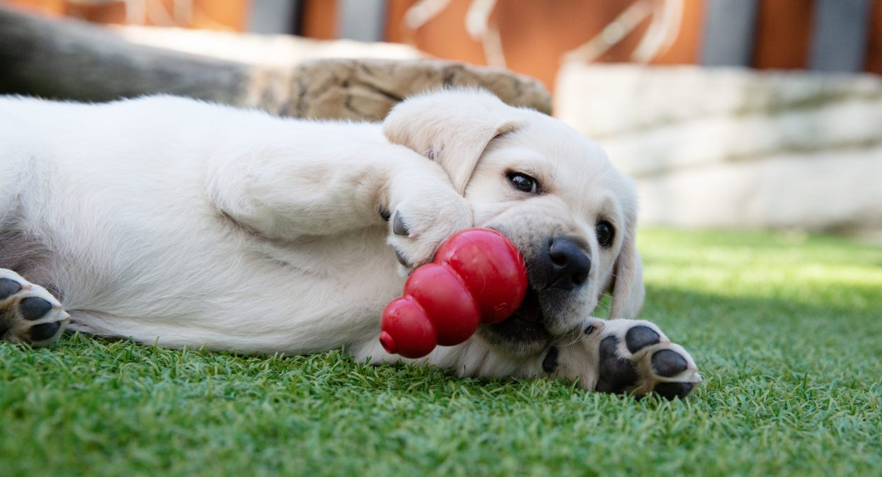 A yellow labrador lies in the grass chewing a red KONG toy